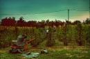 Day 20 – Grape harvest