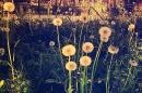 Day 201 – Lite as a dandelion